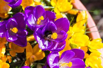 Bumblebee on a Crocus Flower