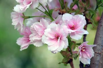 Beautiful flowers plums