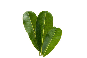 Green plumeria leaf isolated