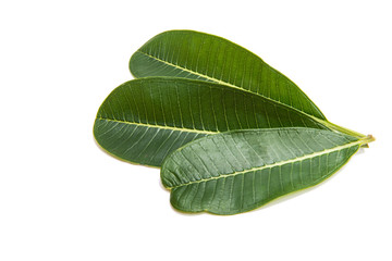 Green plumeria leaf isolated