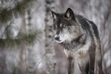 Black Phase Grey Wolf (Canis lupus) Peers Out Intently