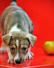 Mongrel puppy and apple on a red background.