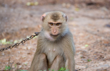 Monkey in human captivity. Held by chain.