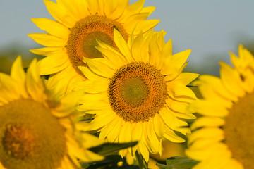 summer sunflower field scene