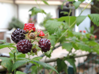 Blackberry close-up in a garden with blurred background