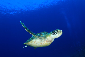 Green Sea Turtle diving in ocean