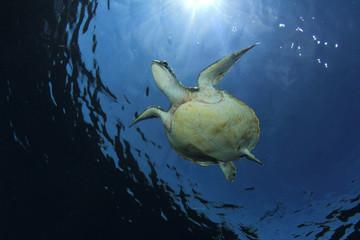Green Sea Turtle diving in ocean