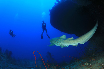 Leopard Shark and scuba divers