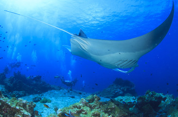 Scuba divers and manta ray
