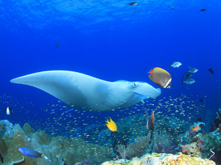Manta Ray comes to cleaning station. Manta ray swims over coral reef with fish