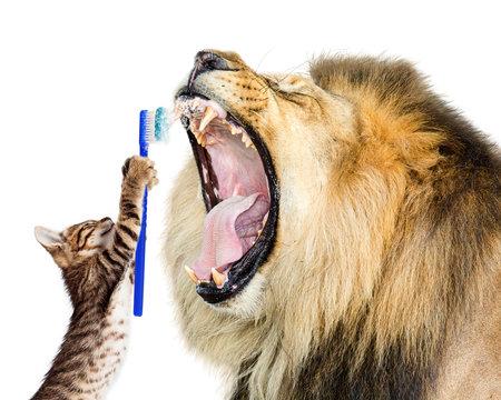 Cat Brushing Lion's Teeth