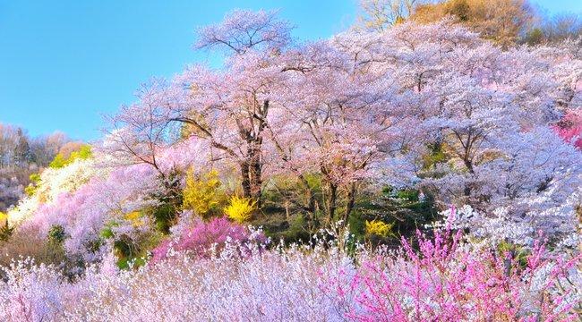 春・桜・満開の桃源郷