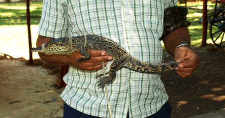 Baby Crocodile II