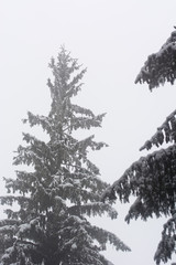 Snowy tree with mist in the background.