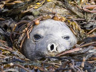 South Elephant Seal, Mirounga leonina, the highest Pinnipeds weighs up to 4.5 tons, Carcass Island, Falkland-Malvinas
