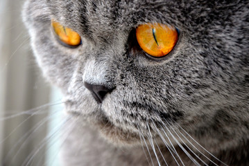Cat close-up with yellow eyes