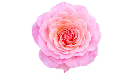 Pink rose on white background.