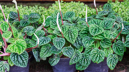 peperomia plant in the garden.
