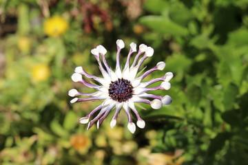 """""""African Cape Daisy Whirligig"""" flower in St. Gallen, Switzerland. Its Latin name is Osteospermum 'Whirligig'."""