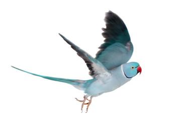 The rose-ringed or ring-necked parakeet on white Fotomurales