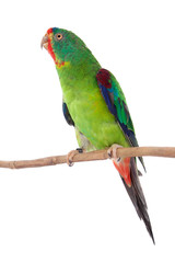 Fototapete - Swift Parrot on white background