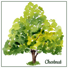 Watercolor chestnut tree