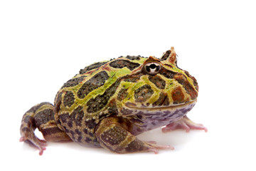 The Argentine horned frog isolated on white