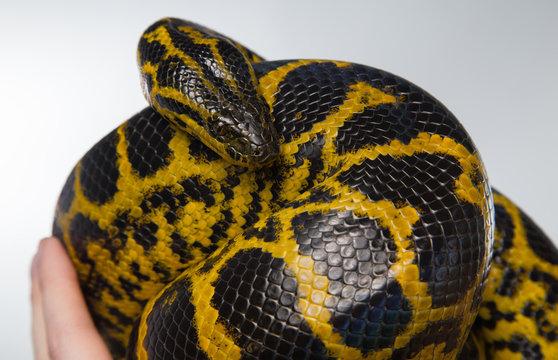 Crawling yellow snake