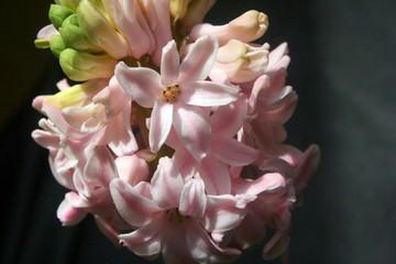 Fotobehang hyacinths, pink hyacinths, spring flowers, holidays, March 8, primroses, bouquets for girls, women's day, mother's day, blooming in spring, ashes of roses
