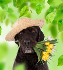 Black mutt dog with straw hat and bouquet of yellow flowers. Spring theme.