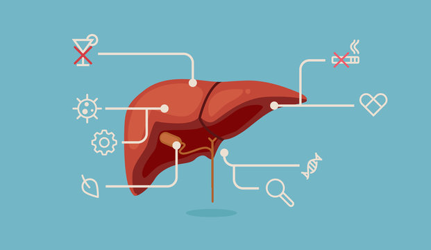 Liver vector illustration