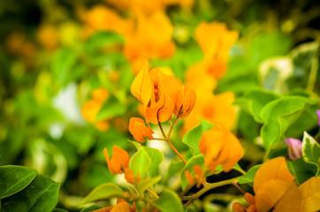 orange bougainville flower detailed macroshot