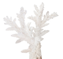 white medium isolated coral branch