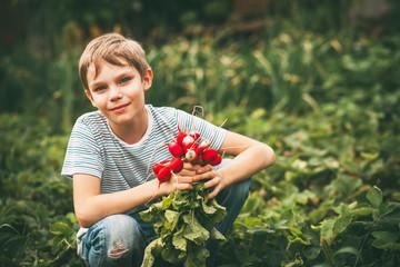 Harvest of radishes