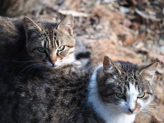 にらみつける二匹の猫