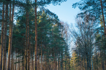 Forest trees on sunny winter day