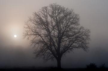 Roble sin hojas, niebla y sol