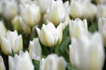 Wall Mural - White tulips background
