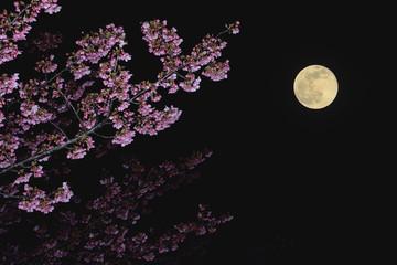 夜桜 満月