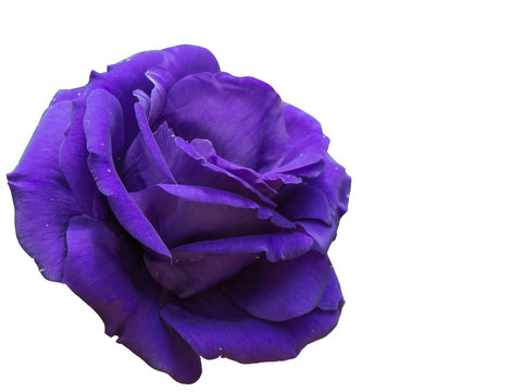 Purple rose isolate on white background.