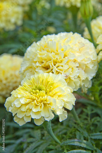 White Marigold Flowers Close Up In The Garden Stock Photo And