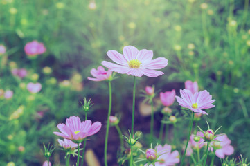 Beautiful pink cosmos flowers blooming in garden,Close up pink cosmos, Nature background