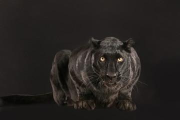 Schwarzer Panther als Studioaufnahme