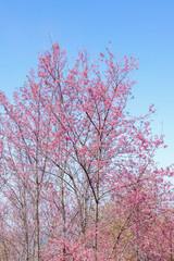 Wild Himalayan Cherry with blue sky
