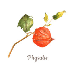 Botanical watercolor illustration, set of physalis parts on white background. Could be used for healthy market, restaurant menu, cosmetics design, package