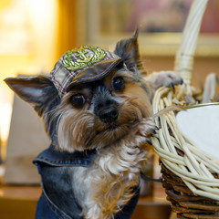 Funny miniature decorative dog dressed in a denim suit and hat. Clothing for Pets is a lifestyle. Breed the Yorkshire terrier - dogs for the rich lady living toy.