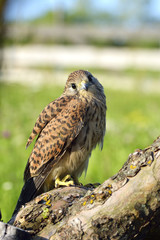 Kestrel, Falco tinnunculus, single female on branch