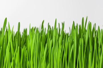 Obraz Zielona trawa na białym tle. - fototapety do salonu