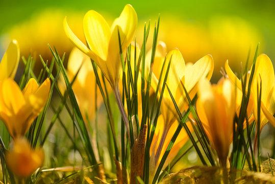 Wiese mit zarten  gelben Krokussen, Ostergruß