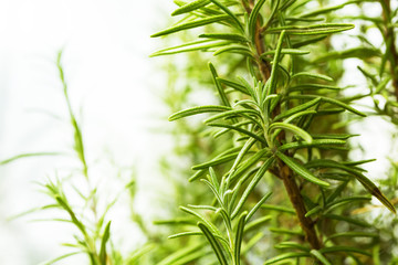 The bush of rosemary on a white background. Space for text.
